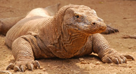dsc_3793-komodo-dragon-1